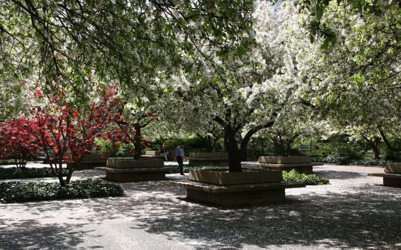 Crab Apple Tree Blossoms on a Garden Path