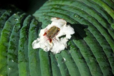 Catalpa Blossom on a Hosta Leaf