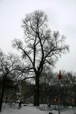 English Elm or Hangmans Tree at Northwest  Corner - Southeast View
