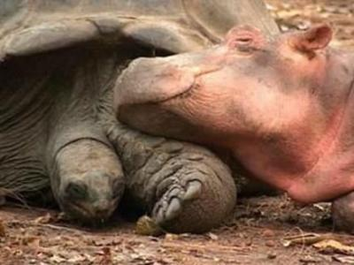 650lb.baby hippo and 100 yr tortoise