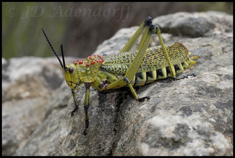 One of the poisonous grasshoppers (Phymateus viridipes?)