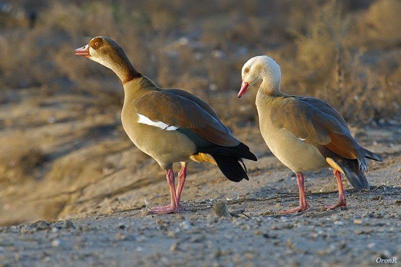 Wild Goose 3