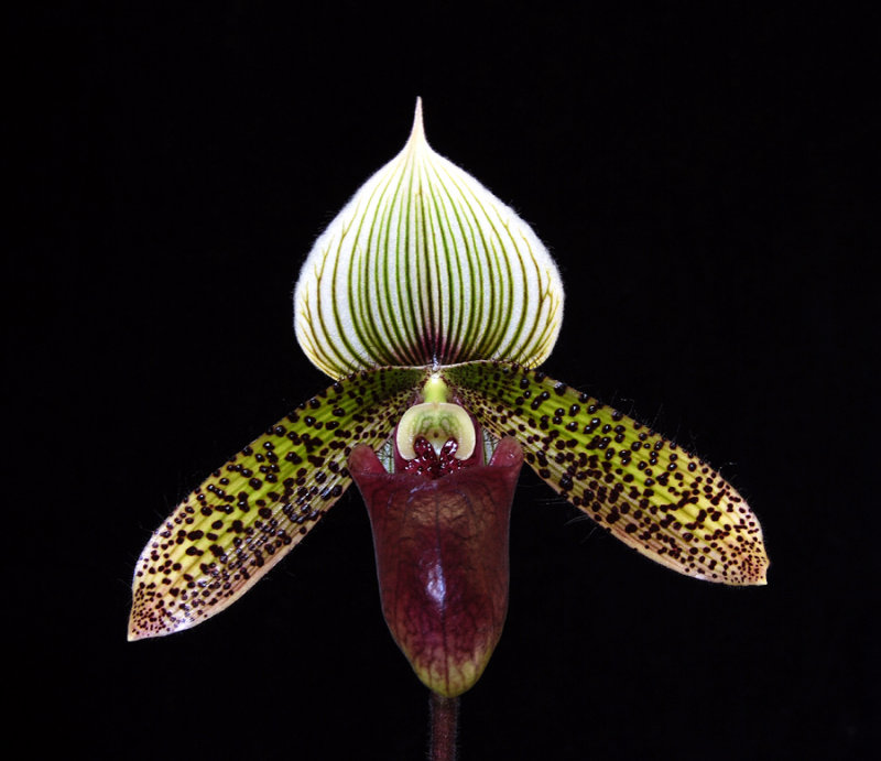 20106712  Paph. Raisin Cain  Starks Tanven  AM/AOS 81  pts.