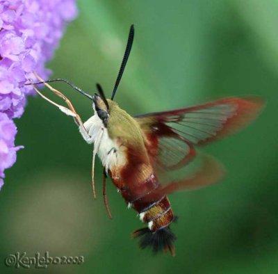 Hummingbird Clearwing Hemaris thysbe #7853