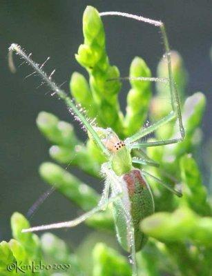 Green Longjawed Orbweaver Tetragnatha viridis