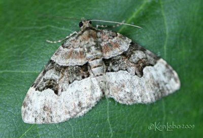 Toothed Brown Carpet Xanthorhoe lucustrata #7390