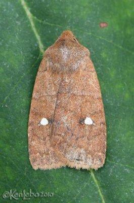 Straight-toothed Sallow Eupsilia vinulenta #9933