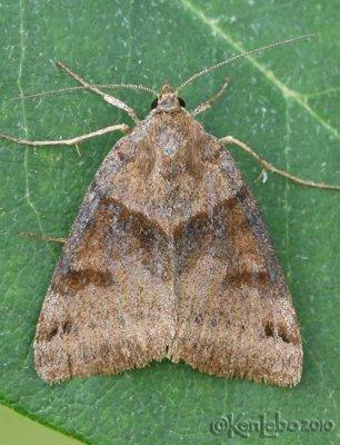 Clover Looper Moth Caenurgina crassiuscula #8738