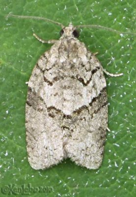 Black-and-gray Banded Leafroller Moth Syndemis afflictana #3672