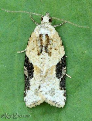 Gray-banded Leafroller Moth Argyrotaenia mariana #3625