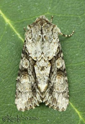 Distinct Quaker Achatia distincta #10518