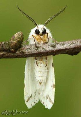 Fall Webworm Hyphantria cunea #8140