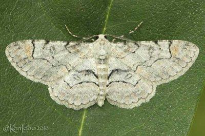 Bent-line Gray Iridopsis larvaria #6588