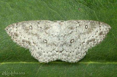 Sweetfern Geometer Cyclophora pendulinaria #7139