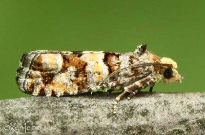 White Pine Cone Borer Moth Eucosma tocullionana #3074