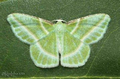 Showy Emerald Dichorda iridaria #7053