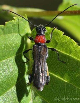 Longhorned Beetle Callimoxys sanguinicollis
