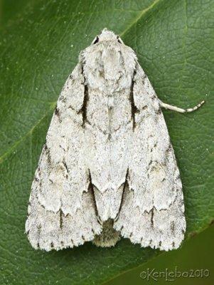 Interrupted Dagger Moth Acronicta interrupted #9237
