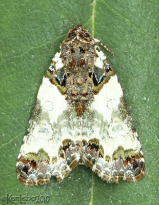 Tufted Bird-dropping Moth Cerma cerintha #9062