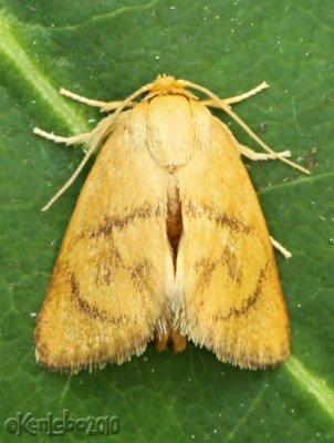 Abbreviated Button Slug Moth Tortricidia flexuosa #4654