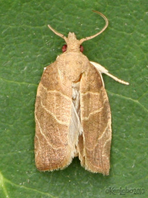 Three-lined Leafroller Moth Pandemis limitata #3594