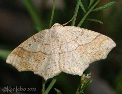 Oak Besma - Besma quercivoraria #6885