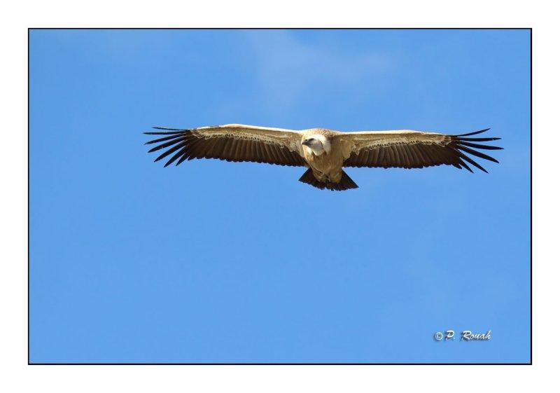 vautour - 3131