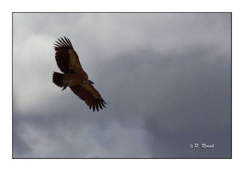 vautour - 3304