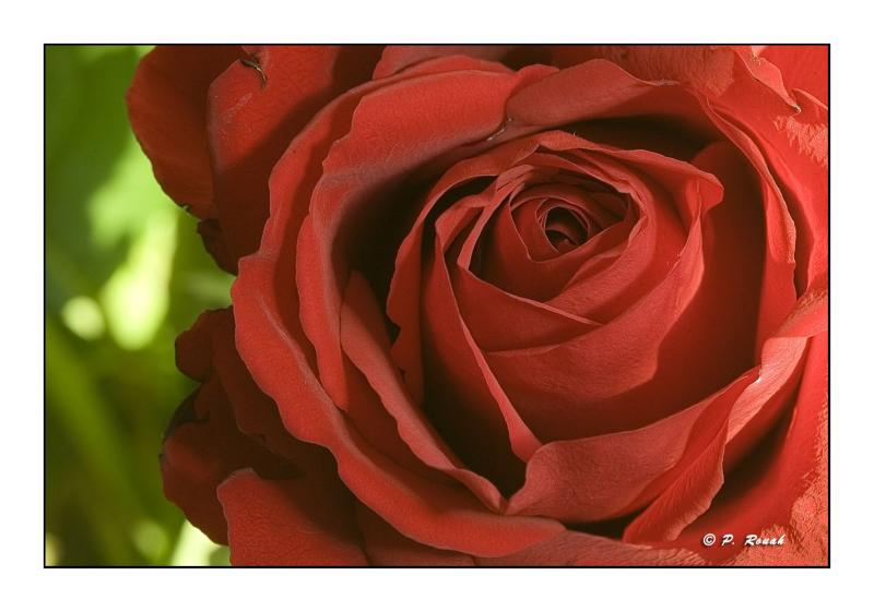 Red Rose : let the passion enter your lives...