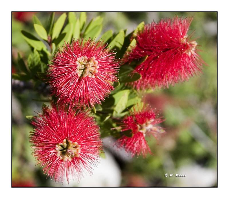 Pistils rouges dautomne