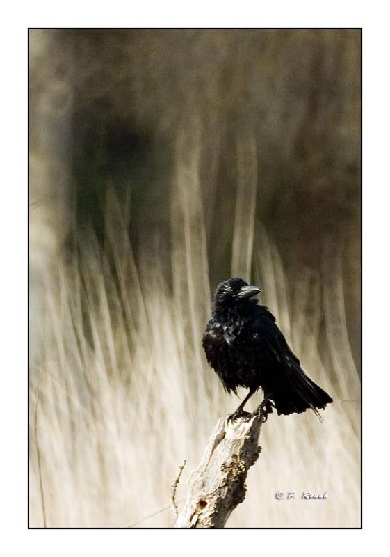 Maitre corbeau...