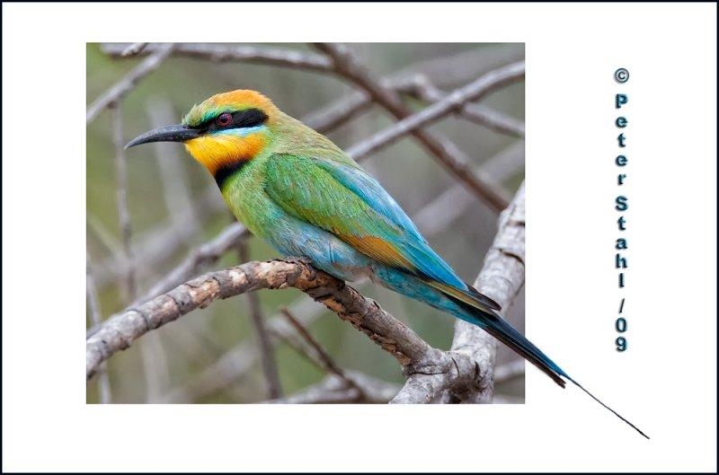 Rainbow-bee-eater.jpg