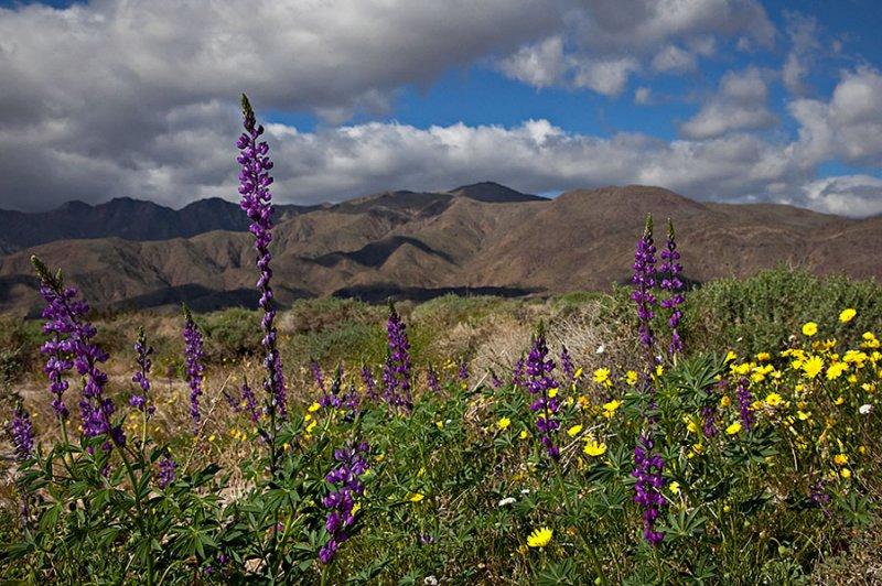 Arizona Lupins and Desert Sunflowers.jpg