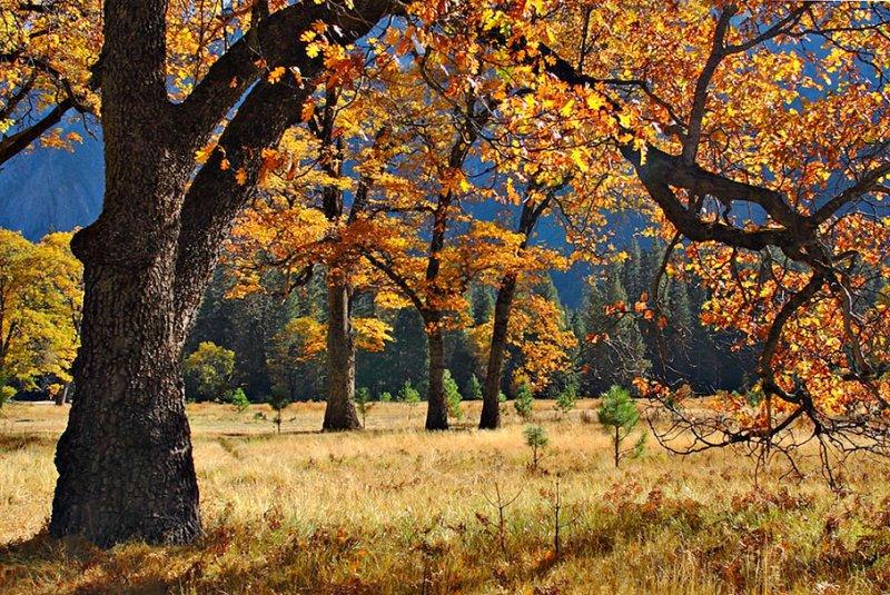 Valley Oaks in Autumn.jpg