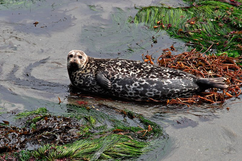 Pacific Harbor Seal.jpg