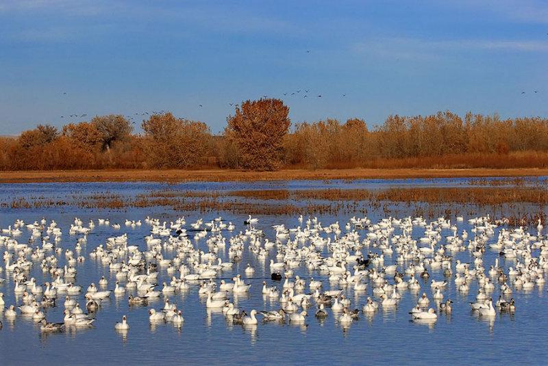 Canadian geese_190.jpg