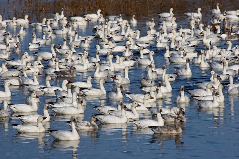 Canadian geese_199.jpg