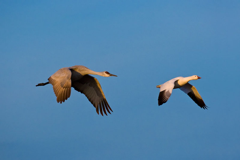 Crane and Goose_366.jpg