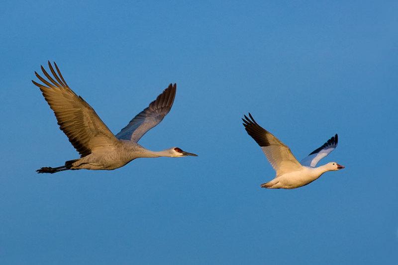 Crane and Goose_367.jpg