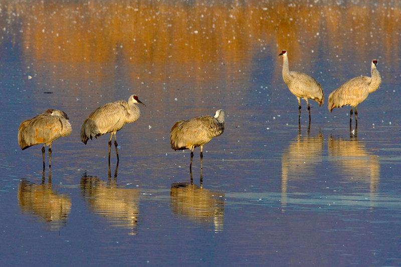 Sandhill Cranes_1074.jpg