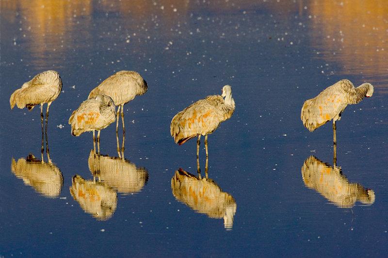Sandhill Cranes_1092.jpg