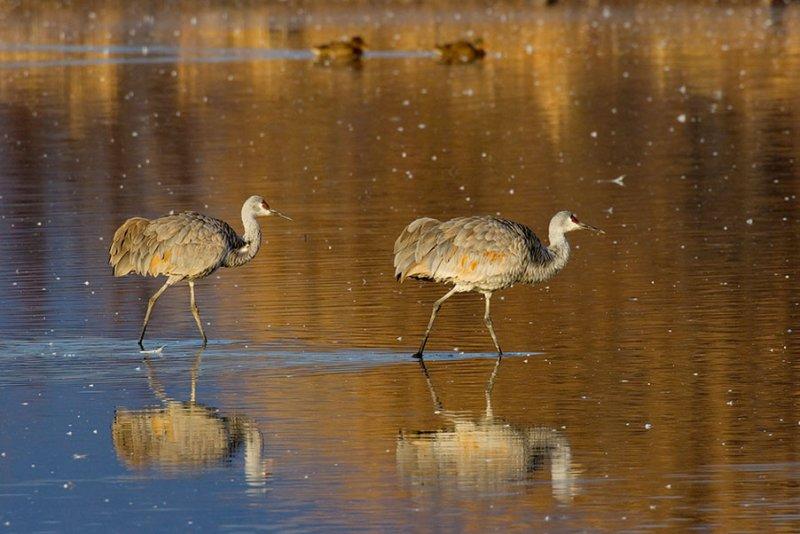 Sandhill Cranes_1096.jpg