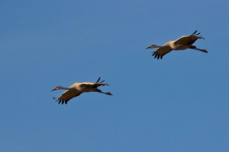Sandhill Cranes_1184.jpg
