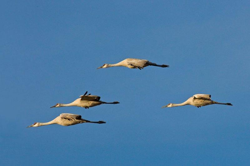 Sandhill Cranes_1202.jpg