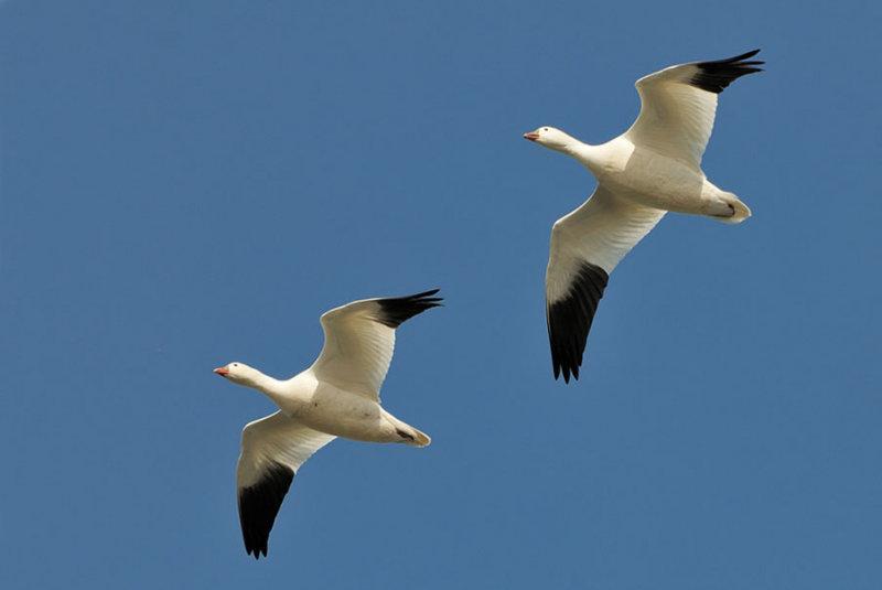 Snow Geese in Flight_204.jpg