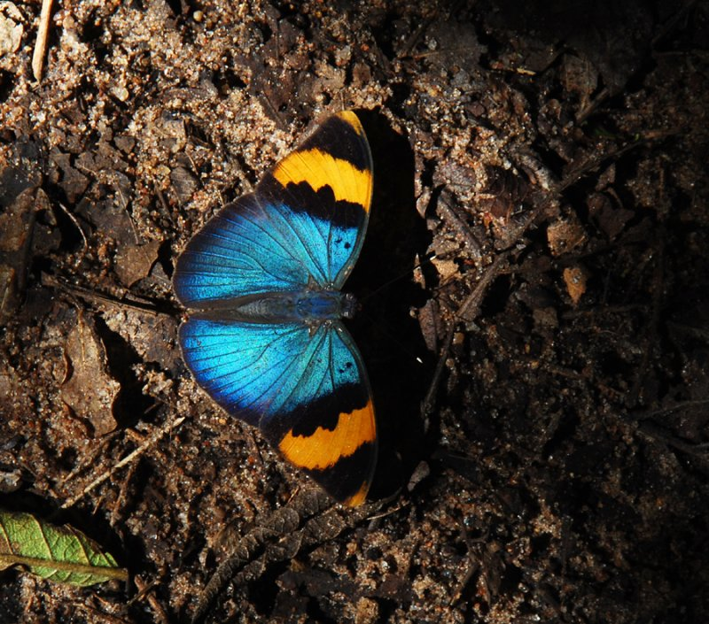 Gold-banded Forester - Euphreda neophron neophron