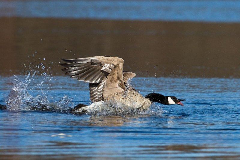Nosy goose