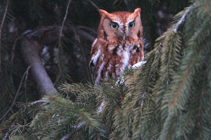 The Eastern Red Screech Owl has returned