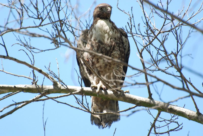 Red Shoulder hawk at eldorado park.jpg