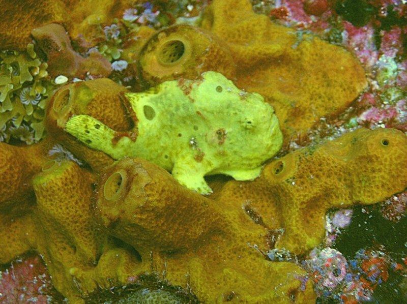 Longlure Frogfish